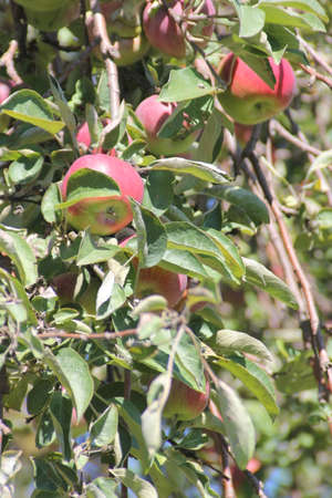 Apple tree laden with nearly ripe apples almost ready for picking Stock Photo - 23216215