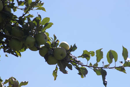 laden: Apple trees laden with nearly ripe green apples at the end of a branch