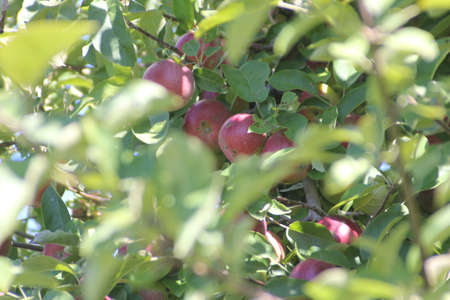 Apple tree laden with nearly ripe apples almost ready for picking Stock Photo - 23216217