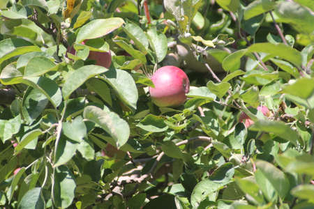 laden: Branches of apple trees laden with nearly ripe apples almost ready for picking