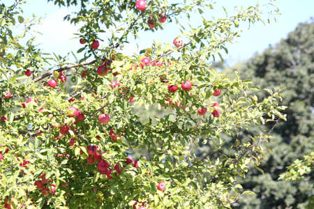 Branches of apple trees laden with nearly ripe apples almost ready for picking Stock Photo - 23216315