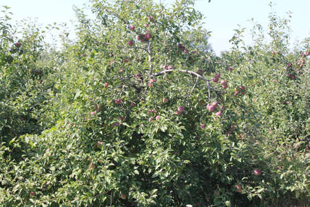 Apple trees laden with nearly ripe apples almost ready for picking Stock Photo - 23216317