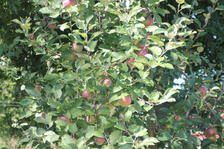 Branches of apple trees laden with nearly ripe apples almost ready for picking Stock Photo - 23216320