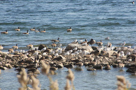 sandbar: Geese and Gulls on a sandbar covered in rocks jutting out from the water off shore