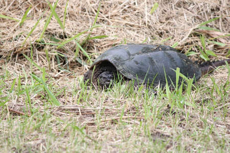 The common snapping turtle is the largest freshwater turtle found in Canada