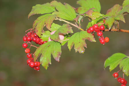 guelder rose berry: The Guelder Rose-Viburnum Opulus is grown as an ornamental plant for its flowers and berries
