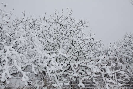 staghorn: Fresh snow covering the bush and bobs of a Staghorn Sumac bush