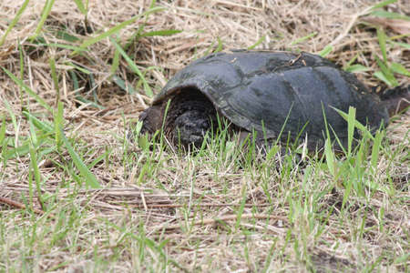 The Snapping Turtle is the largest freshwater turtle found in Canada  Found in the dry grass near a swampy area