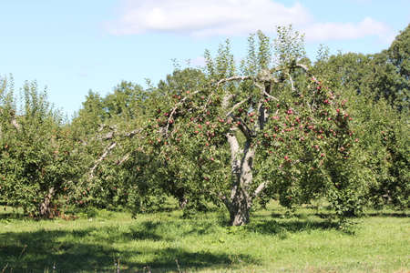 Apple trees laden with nearly ripe apples almost ready for picking Stock Photo - 25821860