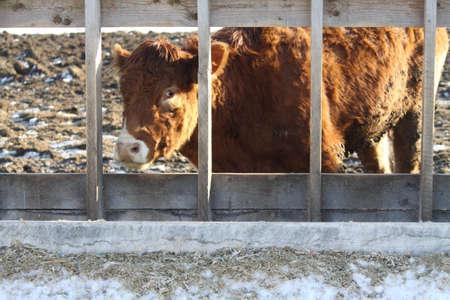 rungs: Vaca mirando por entre los renglones en la barrera de un �rea de espera de transferencia
