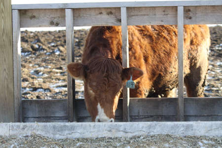 feeding through: Cow with it s head through and  looking out between the rungs in the barrier of a holding-transfer area, feeding at a trough