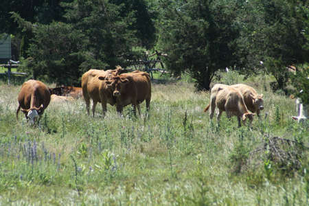 overrun:  Cows walking through a pasture, overrun with weeds