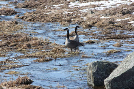 runoff: Canada Geese standing in a stream of water caused by a runoff of melted snow and ice
