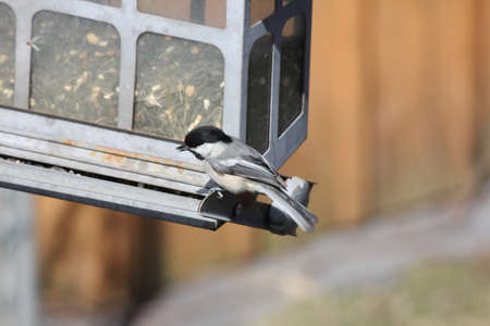 Black-capped Chickadee  Poecile atricapillus  on a back yard bird feeder  It is a small, nonmigratory, North American songbird   免版税图像