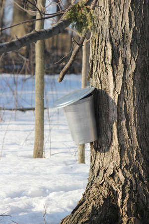 Medal sap bucket attached to a maple tree to catch sap drippings for making maple syrup