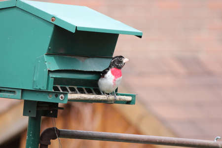 feeder:  Male Rose-breasted Grosbeak  Pheucticus ludovicianus  on a bird feeder