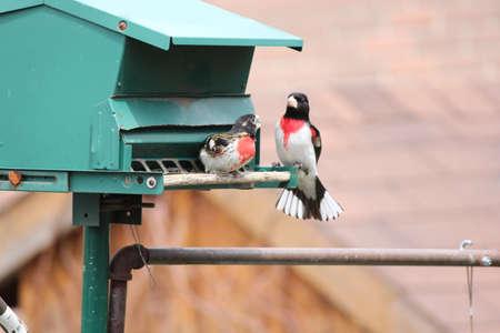 feeder: Two Male Rose-breasted Grosbeak  Pheucticus ludovicianus  on a bird feeder