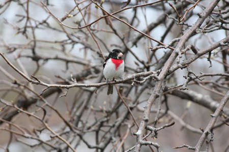 stocky: Male, Rose-breasted Grosbeak  Pheucticus ludovicianus  on a tree branch  They are a stocky, medium-sized songbird with very large triangular bill   Kingston, Ontario in early spring