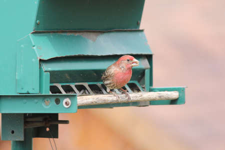 House Finch  Carpodacus mexicanus  on a bird seed feeder  Adult males are rosy red around the face and upper breast