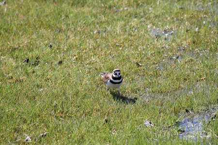 spongy: Killdeer  Charadrius vociferous  on wet, spongy green grass after the spring thaw