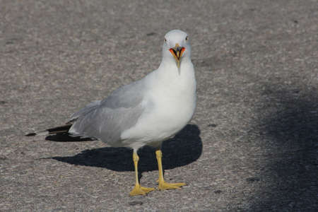 dumps: In a parking lot  The Ring-billed gull  Larus delawarensis  is a medium-sized gull, they frequent parking lots, garbage dumps, beaches, and fields  A Scavenger and noisy bird Stock Photo