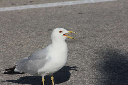 scavenger: In a parking lot  The Ring-billed gull  Larus delawarensis  is a medium-sized gull, they frequent parking lots, garbage dumps, beaches, and fields  A Scavenger and noisy bird Stock Photo