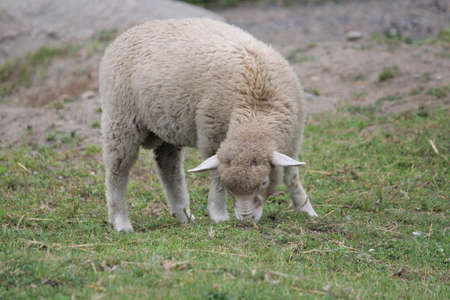 A lamb at a sparse area of grass in a small pen  版權商用圖片