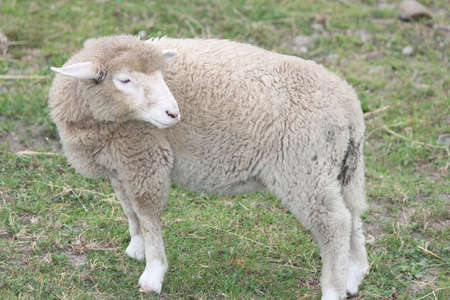 A lamb at a sparse area of grass in a small pen 版權商用圖片 - 29804541