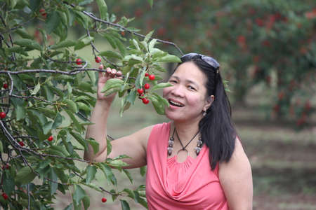 eat right: Pretty lady beside a cherry tree in a small orchard holding a branch full of cherries, pretending to eat them right off the tree
