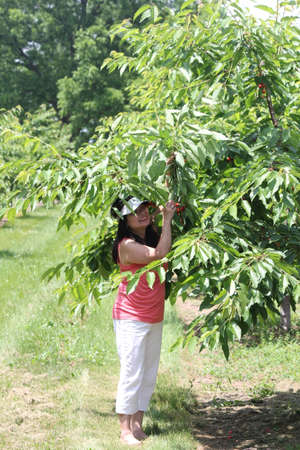 Pretty lady beside a cherry tree, holding a branch loaded with ripe, red, cherries, in a small orchard, Stock Photo