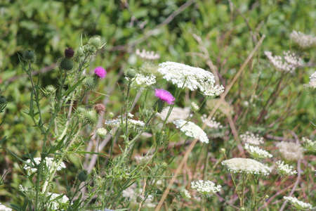 Bull thistle with its purple flower head growing at the side of the road amongst some Queen Annes Lace