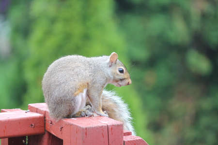 Young squirrel on sitting on porch railing