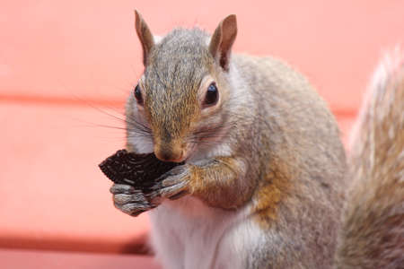 Young squirrel on porch deck eating a cookie