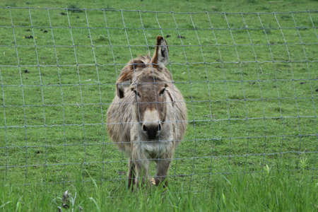 A donkey looking out from behind a metal mesh fence in a small enclosed corral
