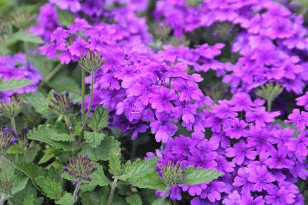 Lovely Purple Garden Verbeba in a smaller garden  It is a very fragrant plant