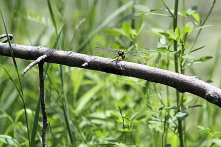 Dragonfly perched on a thick branch bare of leaves