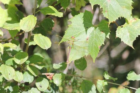 Common Green Darner  Anax junius , Dragonfly, on a green leaf of a bush