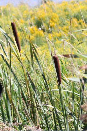 bulrushes: Cattails or bulrushes are wetland plants, Typha plants grow along lake margins and in marshes, often in dense colonies, and are sometimes considered a weed