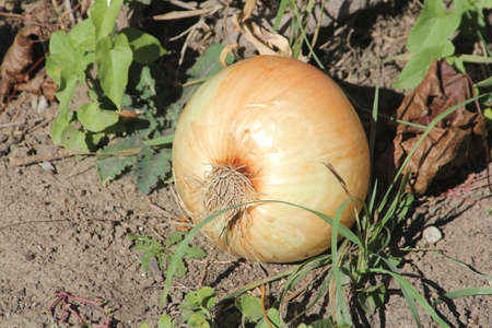 Giant size sweet onion still on the dirt from the garden.