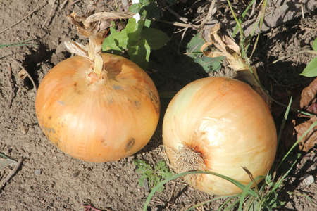 Giant size sweet onions still on the dirt from the garden.