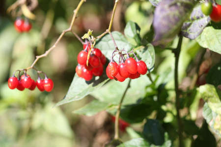 Nightshade-Red berries of a Nightshade vine, clinging to a small chain-link fence.