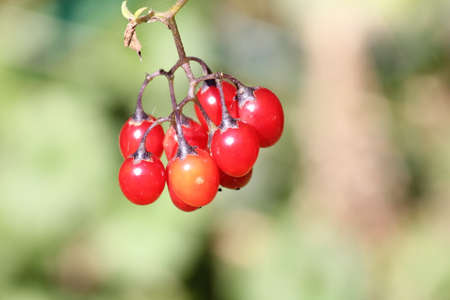 nightshade: Nightshade-Red berries of a Nightshade vine, clinging to a small chain-link fence.