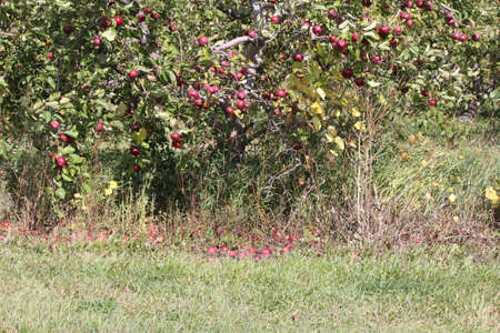 Apples on Tree and Ground photo