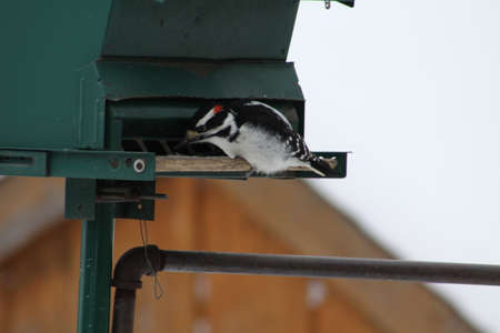 bird feeder: Male Hairy Woodpecker (Picoides villosus) on a bird feeder eating seeds