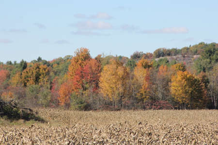 Trees along the edge of a crop field changing to autumn colors