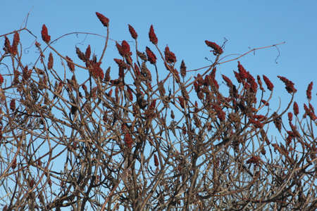 staghorn: Staghorn Sumac bush full of red Bobs growing beside a country road. It is primarily found in the Northeastern and Midwestern United States, Southern & Eastern Ontario. It grows to 3-10 m tall and is considered a weed in some countries.