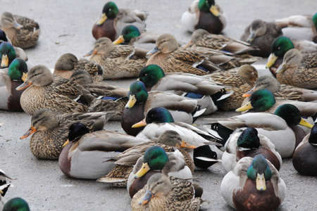 drakes: A small flock of Mallard Drakes and Hens resting on the ice of a frozen pond. Stock Photo