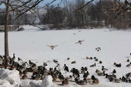 drakes: Mallard Drakes coming in for a landing on an ice covered pond full of a small flock of ducks