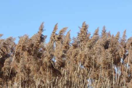 invasive plant: Phragmites australis growing in a ditch beside a country road. The reed Phragmites australis is almost impossible to kill, An invasive reed species that is threatening Ontario wetlands .