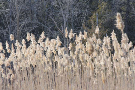 phragmites: Phragmites australis growing in a ditch beside a country road. The reed Phragmites australis is almost impossible to kill, An invasive reed species that is threatening Ontario wetlands .